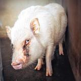 Noufnouf (réservée), Animal porcin à adopter