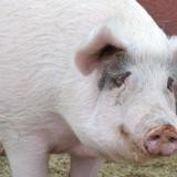 Chloe, Animal porcin à adopter