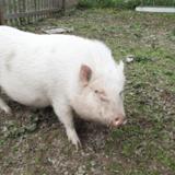 Nefer (et titi), Animal porcin à adopter