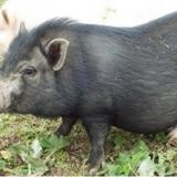 Titi (et nefer), Animal porcin à adopter