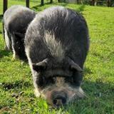 Gerard, Animal porcin à adopter