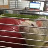 Glouton, Animal rat à adopter