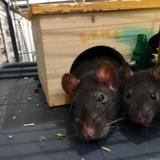 Prune, Animal rat à adopter