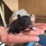 Ratus, Animal rat à adopter