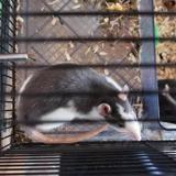 Pins, Animal rat à adopter