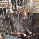 Micro, Animal rat à adopter
