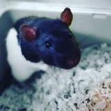 Ratine, Animal rat à adopter