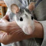 Kiki, Animal rat à adopter