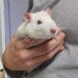 Minus, Animal rat à adopter