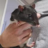 Rapido, Animal rat à adopter