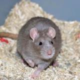 Cesar, Animal rat à adopter
