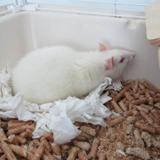 Jane, Animal rat à adopter