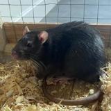 Pipoune, Animal rat à adopter