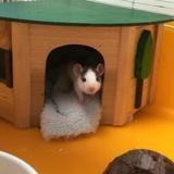 Luke qnac, Animal rat à adopter