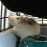 Gus qnac, Animal rat à adopter