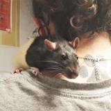 Blake, Animal rat à adopter