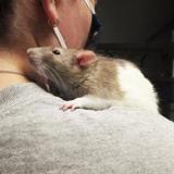 Mortimer, Animal rat à adopter