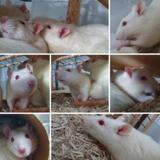 Grincheux cac716, Animal rat à adopter