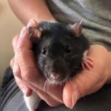 Chataigne, Animal rat à adopter