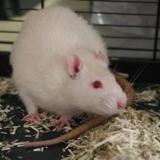 Homer, Animal rat à adopter