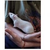 Marguerite (et paquerette), Animal rat à adopter