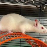 Laura, Animal rat à adopter