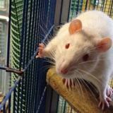 Napoleon, Animal rat à adopter