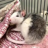 Rasta (et roquette), Animal rat à adopter
