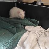 Ramsey 350, Animal rat à adopter