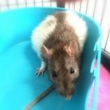 Emilie qnac, Animal rat à adopter