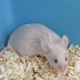 Joy, Animal souris à adopter