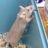 Tagada, Animal souris à adopter