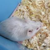 Saucisse, Animal souris à adopter
