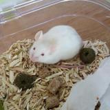 Flocon, Animal souris à adopter