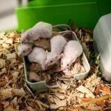 Celestine, Animal souris à adopter