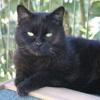 Soren, Chat européen à adopter
