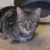 Pinnochio, Chat européen à adopter