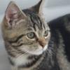 Aina, Chat européen à adopter