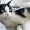 Lyna femelle noire et blanche 1 an, Chat  à adopter