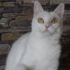 Lula femelle blanche 2 ans, Chat  à adopter