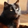 Azalee, Chat européen à adopter