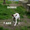 Dodge, Chien  à adopter