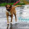 Tropic, Chien boxer à adopter