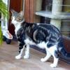 Mustang, Chat européen à adopter