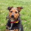 Amok, Chien fox-terrier à adopter