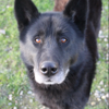 Shopi, Chien chien du groenland à adopter