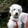 Milou, Chien fox-terrier à adopter