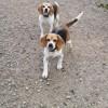 Lilou et lili, Chien beagle à adopter