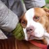 Laika, Chien boxer à adopter