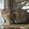 Almyr, Chat  à adopter